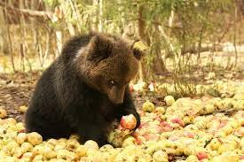 Медведь и яблоки фото